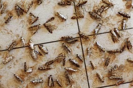 Clothing Moths,Tineola bisselliella, on a pheromone trap 03