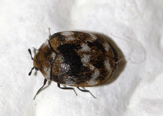 carpet beetle small web view