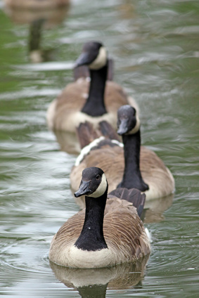 Canada Geese London kent Pest Control management