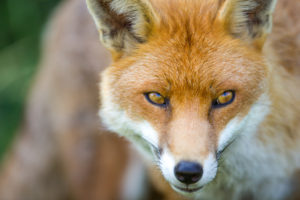Fox Management Pest Control London Kent