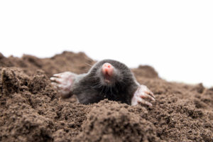 mole pest control management london kent