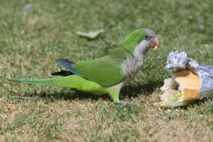Parakeet Pest Control management London kent