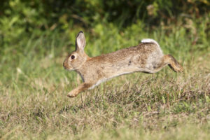 Rabbit Pest Control Management London Kent