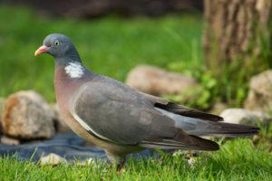 Wood Pigeon pest control london kent
